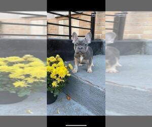 French Bulldog Dog for Adoption in BROOKLYN, New York USA
