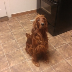 Irish Setter Puppy for sale in ERIE, PA, USA