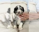 Puppy 2 F2 Aussiedoodle