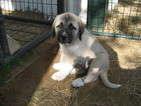 Anatolian Shepherd Puppy For Sale in HUNTINGTON, AR