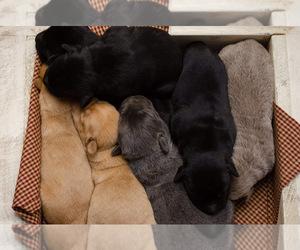 Labrador Retriever Puppy for sale in CINCINNATI, OH, USA