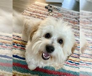 Coton de Tulear Puppy for Sale in SAN ANTONIO, Texas USA