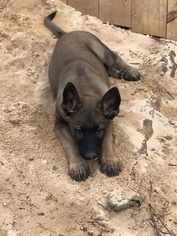 Malinois Puppy For Sale in GREENWOOD, SC, USA