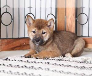 Shiba Inu Dog for Adoption in NAPLES, Florida USA