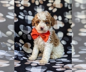 Cockapoo-Poodle (Miniature) Mix Puppy for sale in BIRD IN HAND, PA, USA