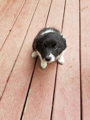 Border Collie Puppy For Sale in DAVISBURG, MI, USA