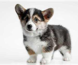 Pembroke Welsh Corgi Dog for Adoption in DES PLAINES, Illinois USA