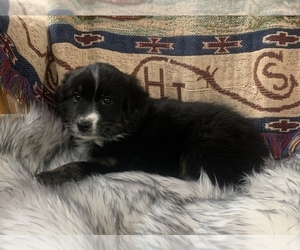 Australian Shepherd Puppy for Sale in WOLFE CITY, Texas USA