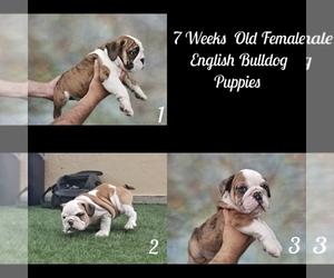 English Bulldog Puppy for sale in GLASSELL, CA, USA