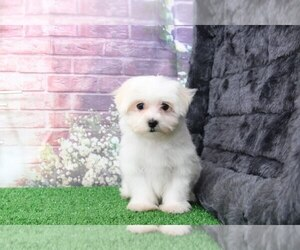 Maltese Dog for Adoption in BEL AIR, Maryland USA