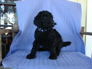 Poodle (Standard) Puppy For Sale in ROUND TOP, TX, USA