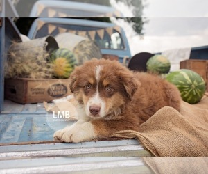Australian Shepherd Puppy for Sale in SPRINGFIELD, Minnesota USA