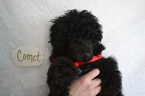 Poodle (Toy) Puppy For Sale in ONAGA, KS, USA