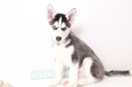 Siberian Husky Puppy For Sale in NAPLES, FL