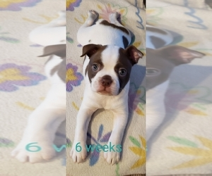 Boston Terrier Puppy for Sale in OLDTOWN, Idaho USA