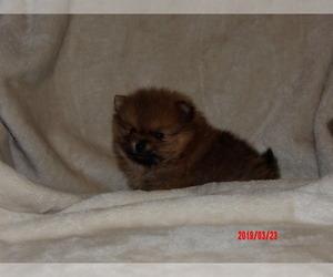 Pomeranian Dog for Adoption in CASSVILLE, Missouri USA