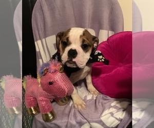 Victorian Bulldog Puppy for sale in BROADVIEW, IL, USA