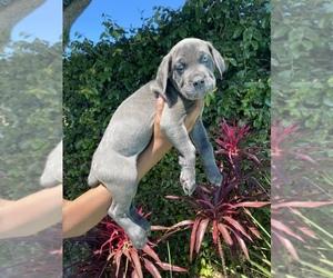 Cane Corso Puppy for sale in NORTHRIDGE, CA, USA