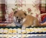 Puppy 4 Shiba Inu