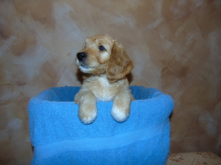 Goldendoodle Puppy for sale in HOME, PA, USA