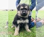 Small #52 German Shepherd Dog