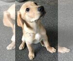 Puppy 7 Labrador Retriever-Unknown Mix
