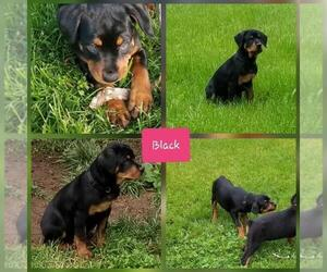 Rottweiler Puppy for Sale in COLUMBIA, Missouri USA