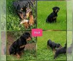 Rottweiler Puppy For Sale in COLUMBIA, MO, USA