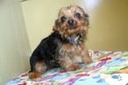 Yorkshire Terrier Puppy For Sale in PATERSON, NJ,