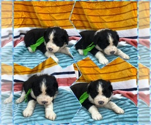 Aussiedoodle Puppy for sale in BLOOMFIELD, MO, USA