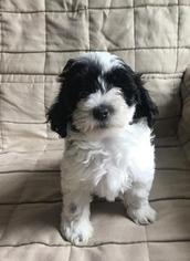Maltese-Poodle (Toy) Mix Puppy for sale in MACOMB, MI, USA