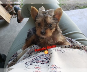 Yorkshire Terrier Puppy for sale in NORCO, CA, USA