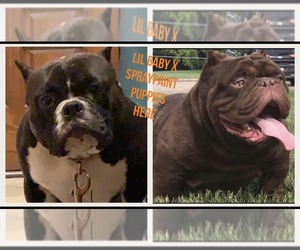 Mother of the American Bully puppies born on 01/26/2020