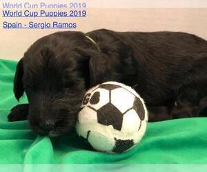 Sheepadoodle Puppy for sale in SAN ANTONIO, TX, USA