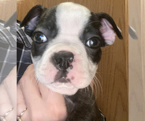 Boston Terrier Puppy for sale in FRANKLIN, NC, USA