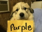 Puppy 4 Great Pyrenees