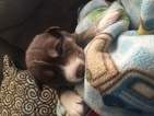 Alaskan Husky Puppy For Sale in FISHER, IL