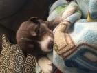 Full blooded Alaskan husky puppies