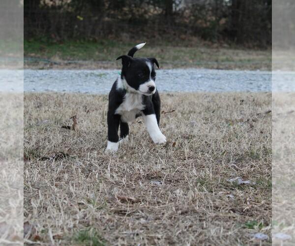 Medium Photo #1 Border Collie Puppy For Sale in BROWNSVILLE, TN, USA