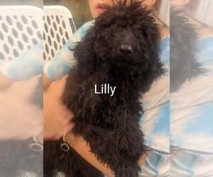 Goldendoodle-Poodle (Standard) Mix Puppy for sale in CLARKRANGE, TN, USA