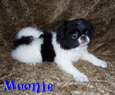 Japanese Chin Puppy For Sale in LYNCHBURG, VA, USA