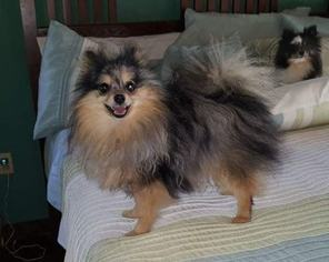 Father of the Pomeranian puppies born on 09/13/2018