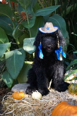Poodle (Standard) Puppy for sale in SACRAMENTO, CA, USA