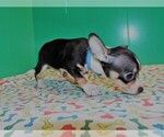 Small Photo #2 Chihuahua Puppy For Sale in PATERSON, NJ, USA
