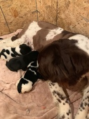 Mother of the Newfoundland puppies born on 01/19/2019