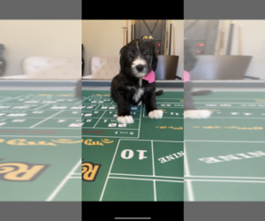 Old English Sheepdog-Shepadoodle Mix Puppy for Sale in PANTHER CREEK, Texas USA