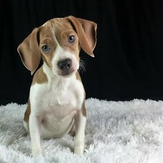 Beagle Puppy for Sale in CHATTANOOGA, Tennessee USA