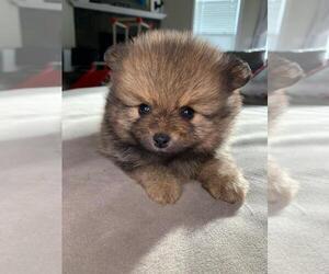 Pomeranian Puppy for sale in SACRAMENTO, CA, USA