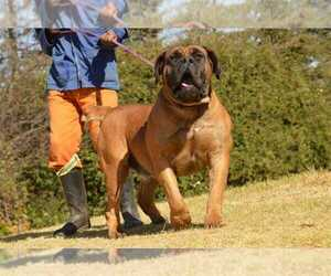 Father of the Boerboel puppies born on 12/14/2020