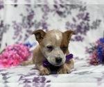 Small #1 Australian Cattle Dog